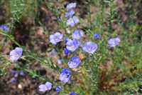 Österreichischer Lein oder Linum austriacum - Linum austriacum flowers in spring garden
