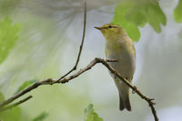 high up in the trees... Wood Warbler *Phylloscopus sibilatrix*, male in breeding dress