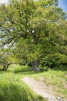 Oak Sulzeiche