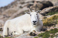 Mountain goat located