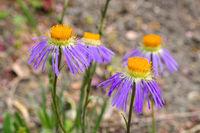 Flieder-Strahlenaster, Aster diplostephioides - Aster diplostephioides, purple summer flower