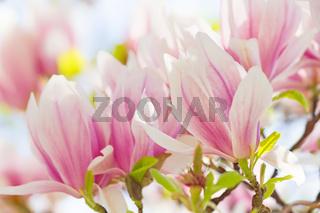 Leuchtende Magnolien