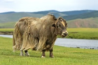 Yak (Bos mutus) with long light brown fur, Orkhon Valley, Mongolia