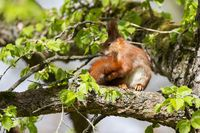 Red Squirrel 23