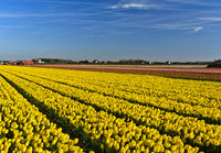 Field of yellow tulips of the species Yellow Purissima, Noordwijkerhout, Netherlands