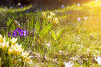 flower meadow in spring with sunflare