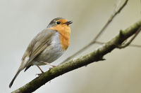 Robin Redbreast * Erithacus rubecula * singing its song