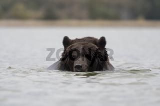 schwimmend... Europäischer Braunbär *Ursus arctos*