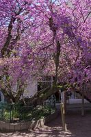 Flowering Judas tree (Cercis siliquastrum) planted in 1791, at the Cours Waldner Stephan