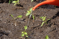 planting pepper