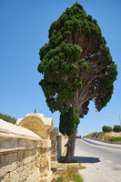The lonely cypress grows nearby fence of winery next to the road to Mdina. Malta