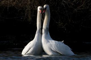 Balzende Hökerschwäne / Displaying Mute Swan / Cygnus olor