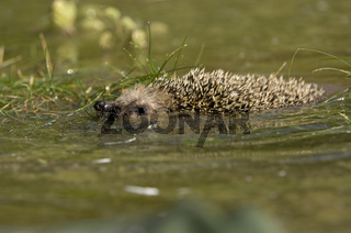 Igel schwimmend, hedgehog swimming