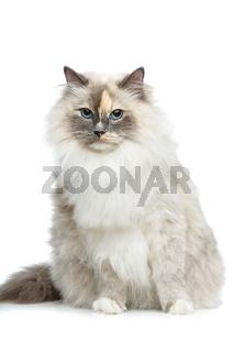 beautiful birma cat isolated on white