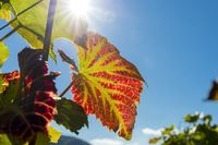Red vine leaves in the back light of the sun