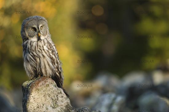 in first morning light... Great Grey Owl *Strix nebulosa*