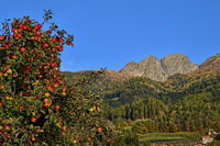 Apple cultivation in South Tyrol