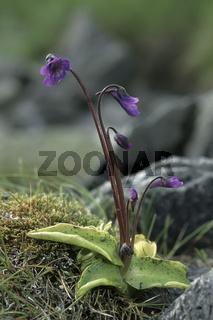 Echtes Fettkraut (Pinguicula vulgaris)