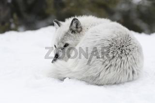 eingerollt... Timberwolf *Canis lupus lycaon*