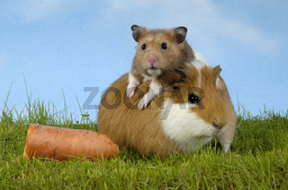 Guinea Pig and Golden Hamster / Meerschweinchen und Goldhamster