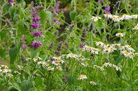 Xylanthemum tianschanicum und Stachys persica - Xylanthemum tianschanicum and Stachys persica, small wildflowers