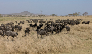 Gnusherde in der Serengeti