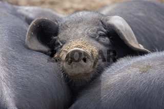 Doesendes Hausschwein