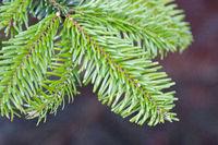 close-up of a fir branch