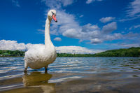 Large white swan on the lakeshore
