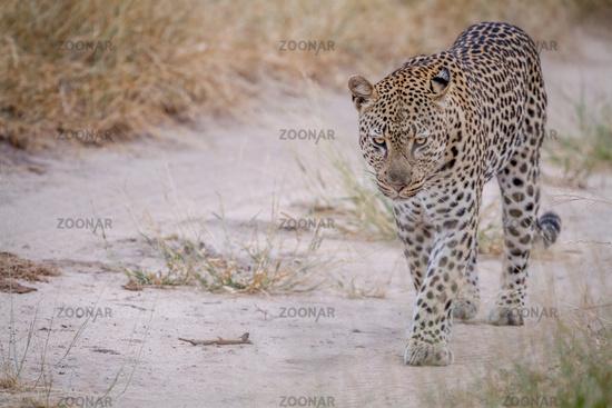 Leopard walking on a sand road.