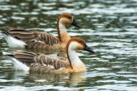 swan goose in Heidelberg