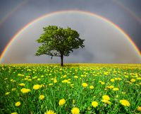 dandelion field and tree under cloudy sky with rainbow