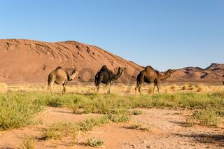 Three Arabian camel, Camelus dromedarius, Morocco