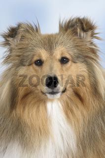 Sheltie / Shetland Sheepdog