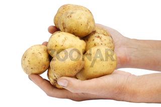 Fresh potato in hands of the farmer.