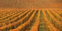 Vineyards in the autumn season, Burgundy, France