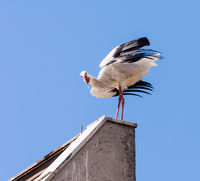 White stork standing on the roof