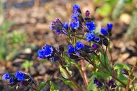 Lungenkraut der Sorte Blue Ensign - lungwort or Pulmonaria dacica species Blue Ensign