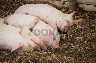 Four piglets sleeping