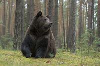 massive... European Brown Bear *Ursus arctos*
