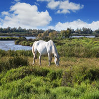 White horse grazing in Rhone Delta, Provence