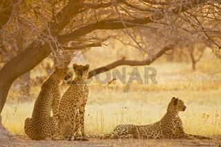 Geparden (Acinonyx jubatus) am fruehen Morgen, Nxai Pan, Makgadikgadi Pans National Park, Botswana, Afrika, Cheetahs at morning light, Africa