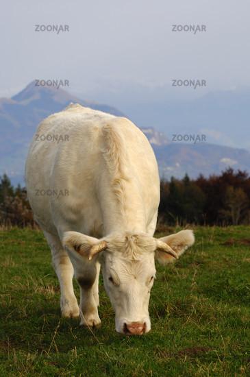 Charolais bull