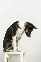 Exercises of a border collie in the studio against a white background