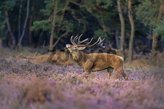 Rothirsch (Cervus elaphus), Nationalpark Hoge Veluwe, Gelderland, Niederlande, Europa