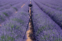Taking photos of Lavender
