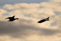 grey goose flying