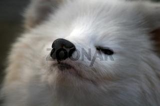 Vorwitzige Nase eines Polarfuchses
