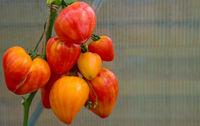 Ripe natural orange russian tomatoes .