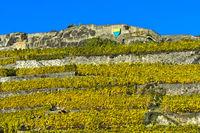 Terrace vineyards of Rivaz in autumn, Rivaz, Lavaux, Vaud, Switzerland